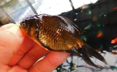 釣り堀でキンギョ激釣255尾 タナゴスタイルで攻略【埼玉・おかべ農園】