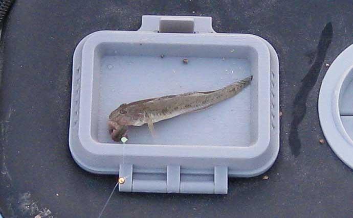ハゼ狙いの「ミャク釣り」で15cm超の2年魚も顔出し【和歌山・紀ノ川】