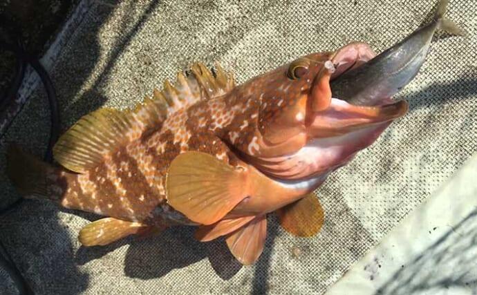 ライトタックル泳がせ五目釣りが手軽で楽しい【新潟・こうゆう丸】