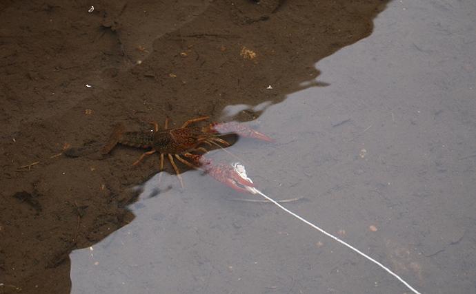 アメリカザリガニが「特定外来生物」指定の可能性 気軽に釣るはNG?