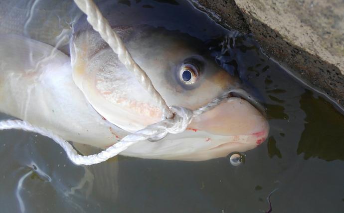 利根川名物「ハクレンジャンプ」の季節到来 実は食べて美味しい外来魚?