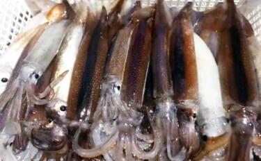 上越ムギイカ釣りステップアップ解説:「置き竿」でもイカが釣れる?