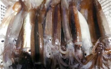 【2021上越】ムギイカ釣りステップアップ:釣果アップおすすめアイテム2選