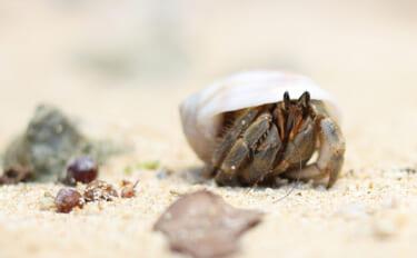 鹿児島でオカヤドカリの産卵が最盛期 陸上生活なのにエラ呼吸?