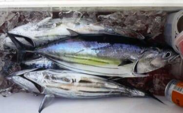 金洲遠征船でコマせカツオ釣り サバとバラシに苦戦も本命4匹【静岡】