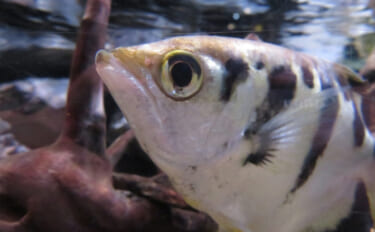 陸上のエサを狙う魚たち 有名な「テッポウウオ」以外に「ウツボ」も?