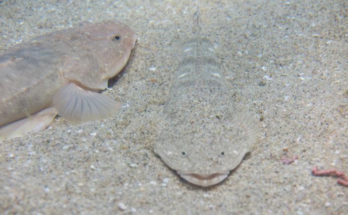 夏を代表するサカナ「マゴチ」の生態 浮袋が無いから泳ぐのが下手?