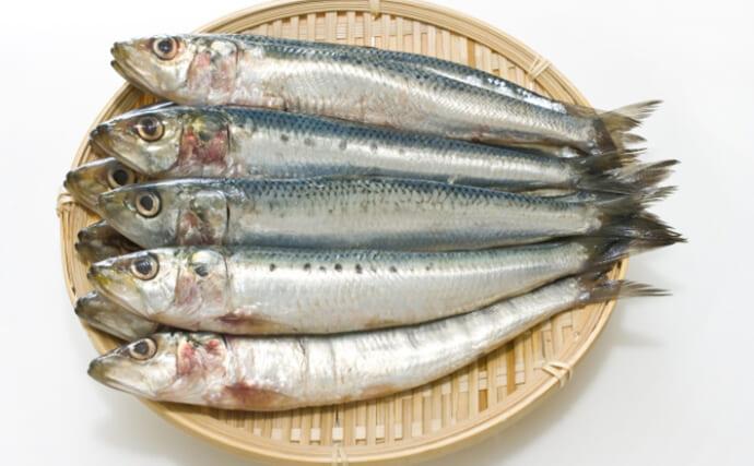 高級魚の仲間入り間近の「イワシ」が旬 敵がいないと群れない?