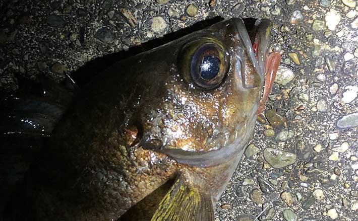 『陸っぱりライトゲーム』ステップアップ解説:魚種毎の適水温は何度?