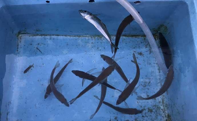 釣り人的「ひと手間」レシピ:小アジ竜田揚げ 腹開きでランクアップ?