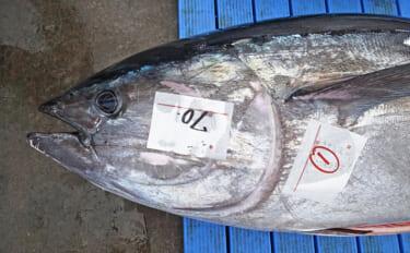 太平洋クロマグロの漁獲量上限が緩和の見通し 小型魚の制限は変わらず