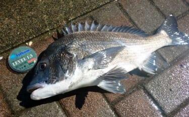 今さら聞けないフカセクロダイ釣り:代表的なハリス号数と使い分け術