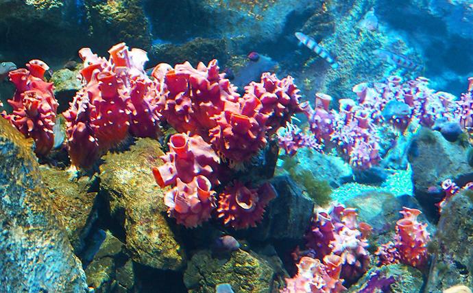 珍味代表『ホヤ』は夏が旬 貝のようで貝ではないユニークな生態とは?