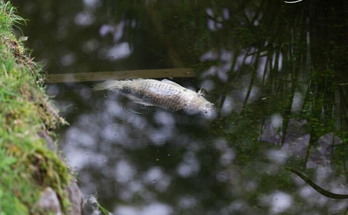 度々起こる魚の『夏の大量死』の原因は? 有害物質の検出はナシ