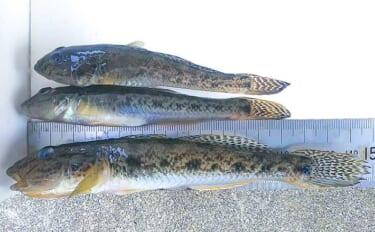 最盛期迎えた「陸っぱりハゼ釣り」満喫 河川&漁港で本命78尾キャッチ