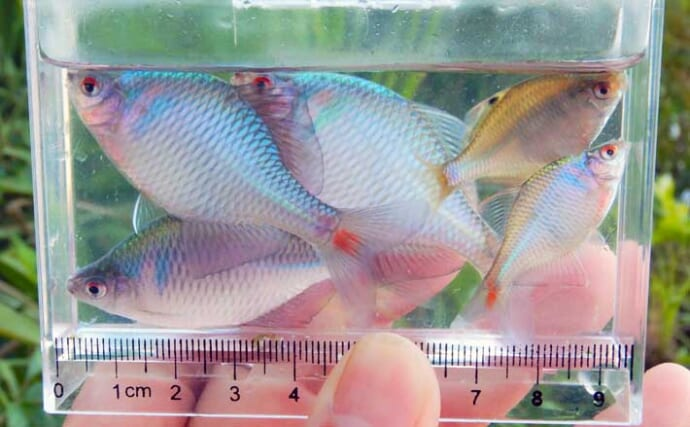 夕マヅメの淡水小物釣りでタナゴ中心に快釣 釣果アップ3つのコツとは?
