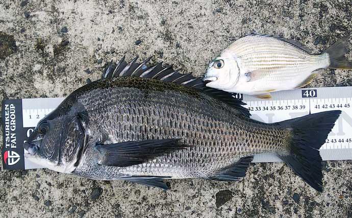堤防でのフカセクロダイ釣りで本命44cm 好ゲストにシマアジも多数手中