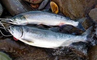 世界遺産『知床羅臼』でカラフトマスを釣る 沖&陸から2日連続釣行へ