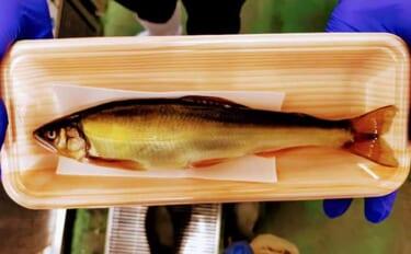 プロが教える「旬魚」の見分け方:アユ 体表の『ツヤ』がポイント?