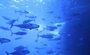 遊漁によるクロマグロの採捕が全面禁止に 対象期間は22年5月まで
