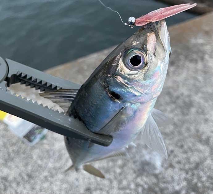 経験者なら知っておきたい『アジング』用語集 知れば釣りの幅も広がる?