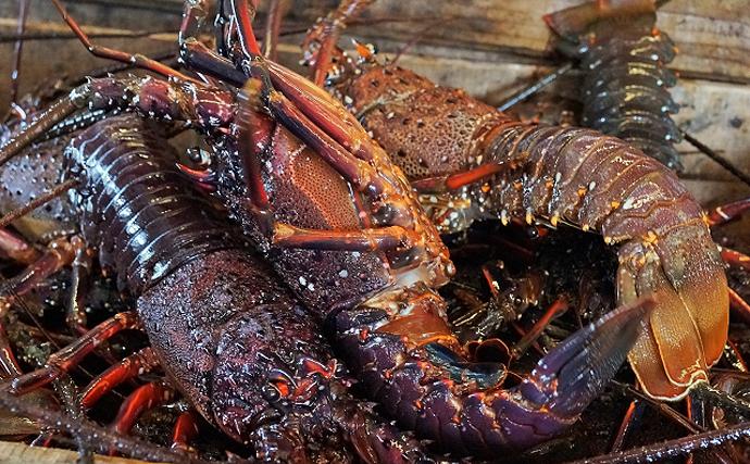 各地でイセエビ漁が解禁 価格を大きく左右するのは実は「ヒゲ」?