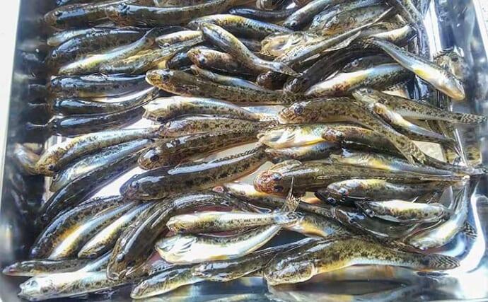 盛期のハゼ釣りで68尾 「ミャク釣り」と「ちょい投げ」2種の釣法で満喫