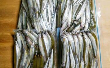 早朝の芦ノ湖ボートワカサギ釣りで186尾 例年とは魚の動き異なる?