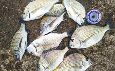 漁港でのフカセ釣りで小型クロダイ 好ゲストにヘダイが連続ヒット
