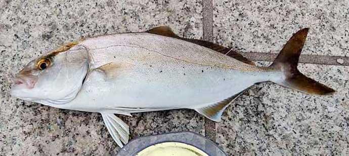 キャストせずに青物が釣れる 人気ローカル釣法『パチ専ダート』とは?