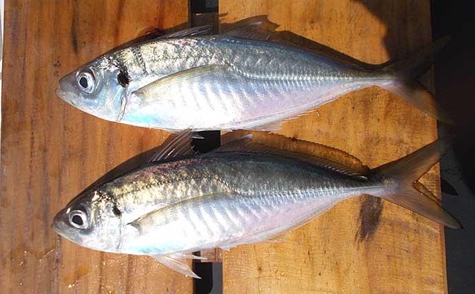 夏が美味の「マルアジ」釣り 庶民派の魚は安価なサビキ仕掛けがお好き?