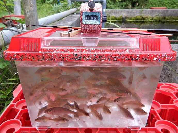 管理釣り場のタナゴ釣りで100尾超え 決め手は時合い逃さぬ「極小エサ」