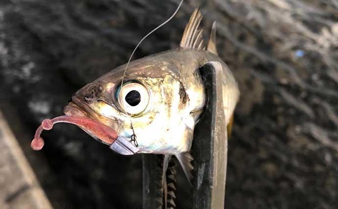「アジング」でルアー釣りデビューのススメ 少し難しいけど釣り甲斐アリ
