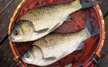 管理釣り場の底釣りでヘラブナ快釣 開始から活性高く良型ばかり25匹