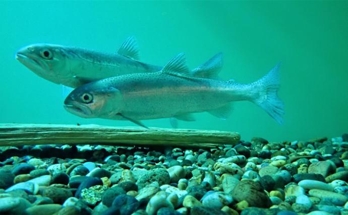 味は抜群でもマイナーな『ヒメマス』 実は超メジャー魚の別タイプ?