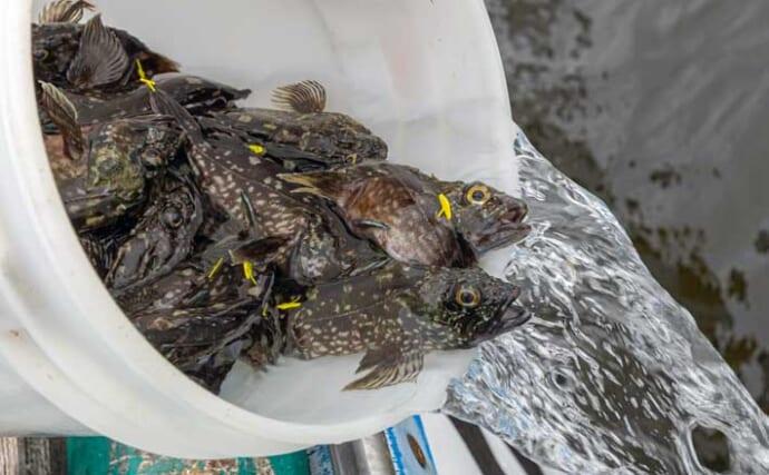 東京湾でカサゴの稚魚3万尾を放流 環境保全のために遊漁船5隻が協力