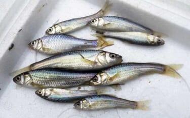 「ホソ」で淡水小物釣り メインの『クチボソ』の他タナゴも登場で満足