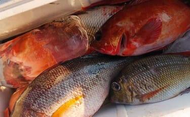 磯のカゴ&ブッコミ釣りで2大本命 シブダイ・イシガキダイにタバメも