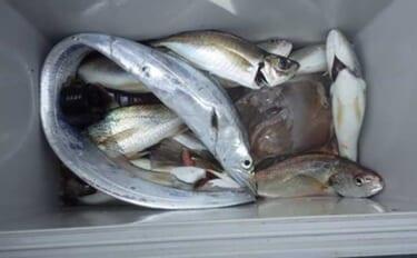 東京湾イシモチ釣りで良型20匹 イソメにまさかのタチウオがヒット?